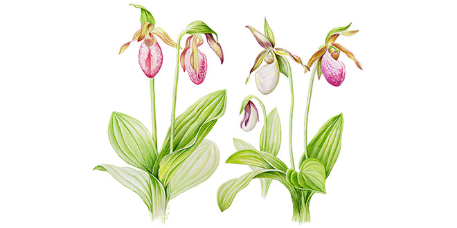 Cypripedium acaule, © 2008 Kathleen Marie Garness