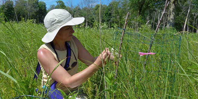 Jeanne Dunning pollinating a Eastern Prairie White Fringed Orchid at a Somme Preserve - 6/29/2014, © Lisa Culp