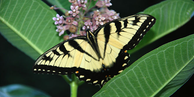 Tiger Swallowtail on Milkweed - Naperville Backyard, 7/20/2015, © Marilyn L. Schweitzer.