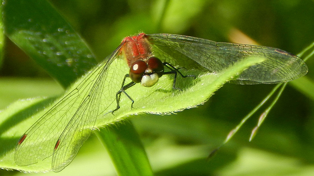 white faced meadowhawk-mayslake dupage